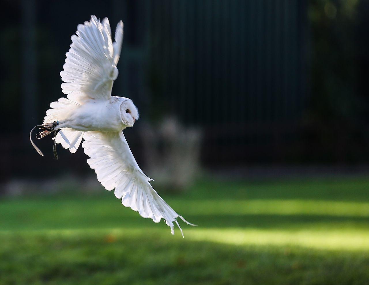 Beautiful stock photos of owl, Animal Themes, Bird, Bird Of Prey, Day