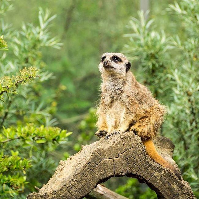 Erdmännchen Zoomerlebniswelt Zoom Zoo Gelsenkirchen Olympus EM1 Oly Picoftheday Bestoftheday Unifilmfoto Animalofinstagram Animal Animals