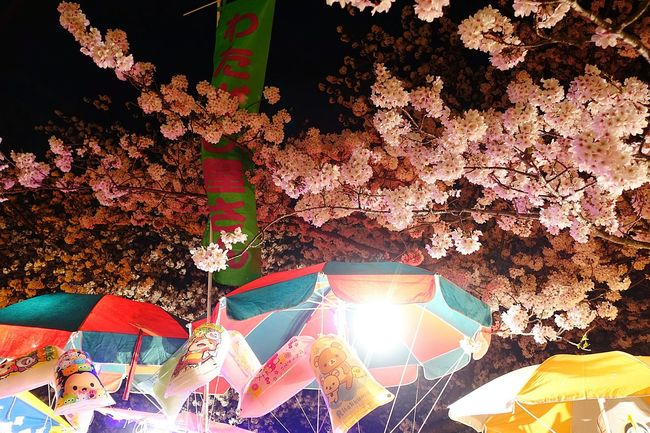 Blooming Cherry Blossoms Japanese Culture Festival Spring Matsuri Hello World From My Point Of View Fukuoka Japan Sakura2016 お花見 夜桜 祭り 出店 わたがし Cottoncandy Colorful Colors Sakura
