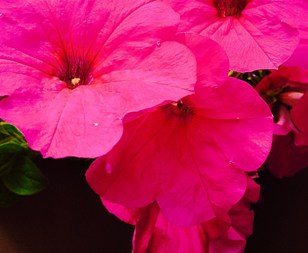 Pink Pansies Pink Pansies Pansies Pink