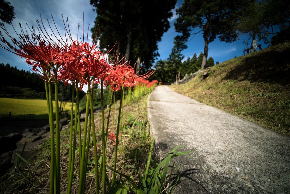 red spider lily Flower Japan Nature Redspiderlily Road Tsuruoka
