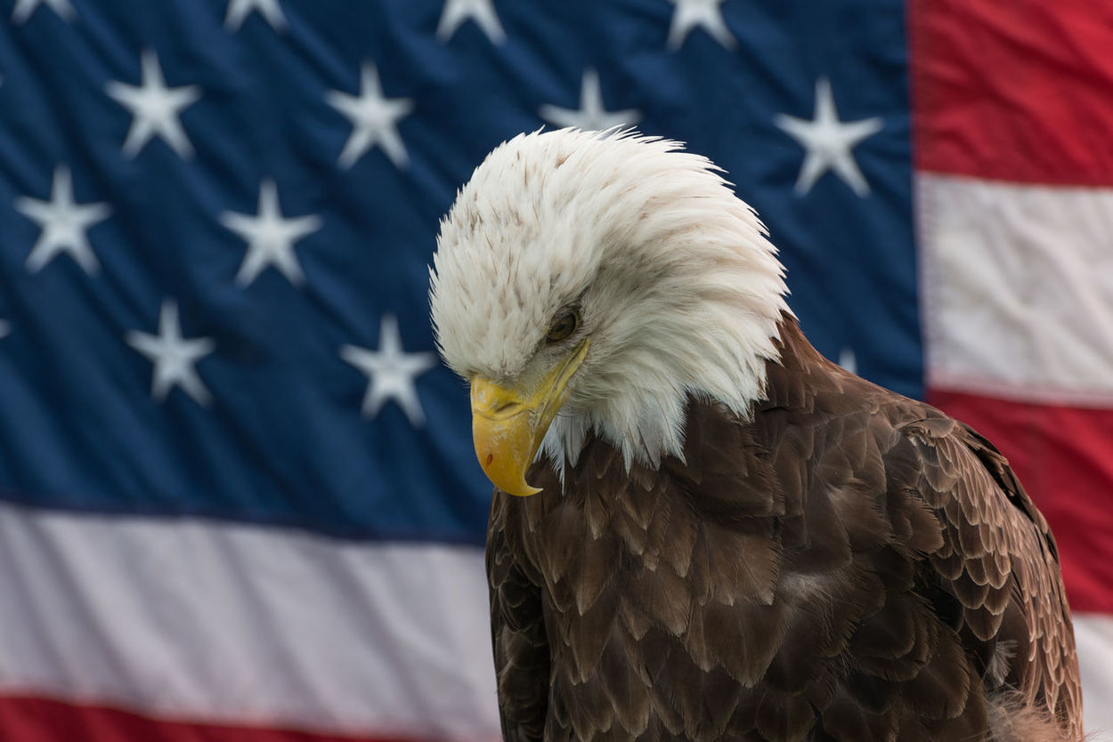 Close-up Nature One Animal Wildlife Bald Eagle Bald Eagle With The American Flag Bird Of Prey American Flag