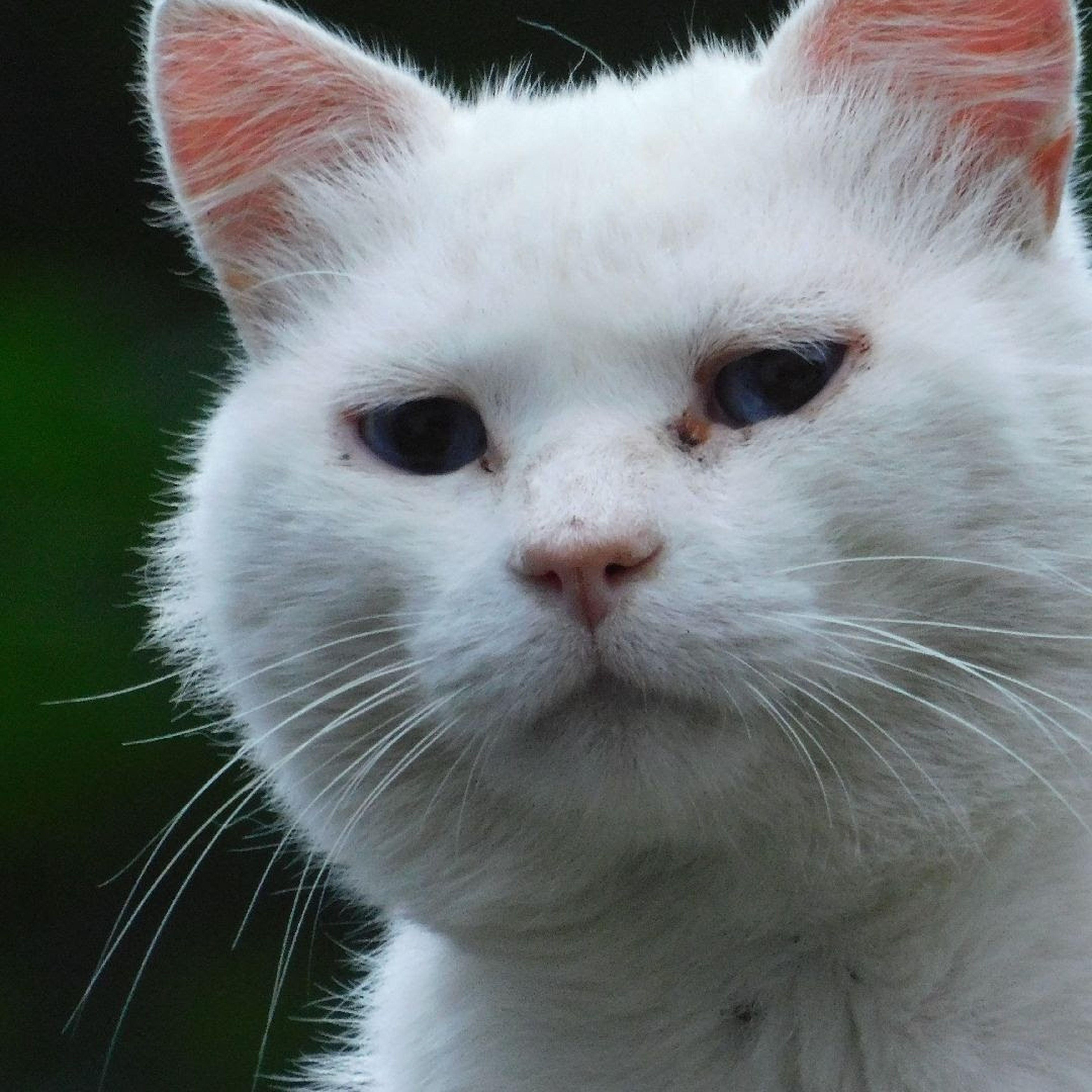 Gatto Toscano Tuscany Cat