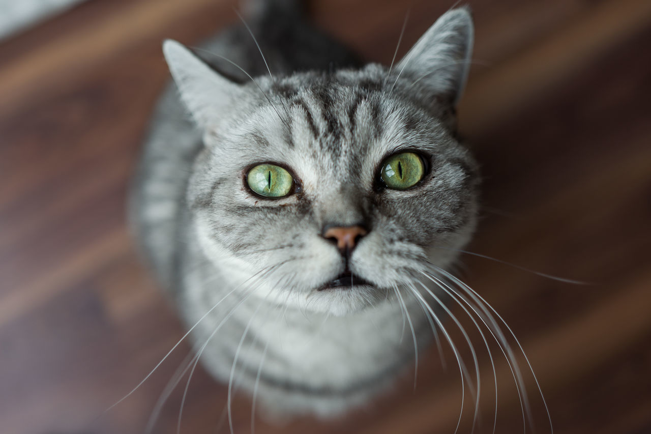 McLovin Animal Themes British Shorthair Close-up Day Domestic Animals Domestic Cat Feline Indoors  Looking At Camera Mammal McLovin No People One Animal Pets Portrait Tomcat Whisker
