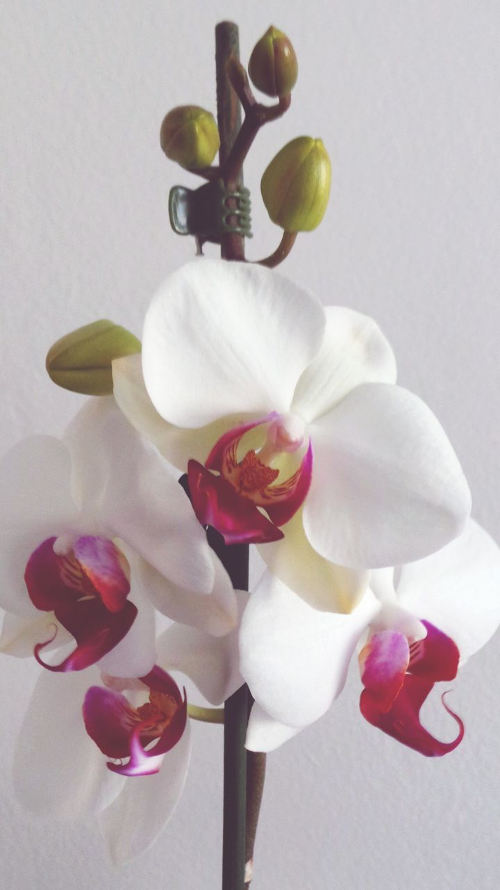 Close-Up Of White Orchids Against Wall