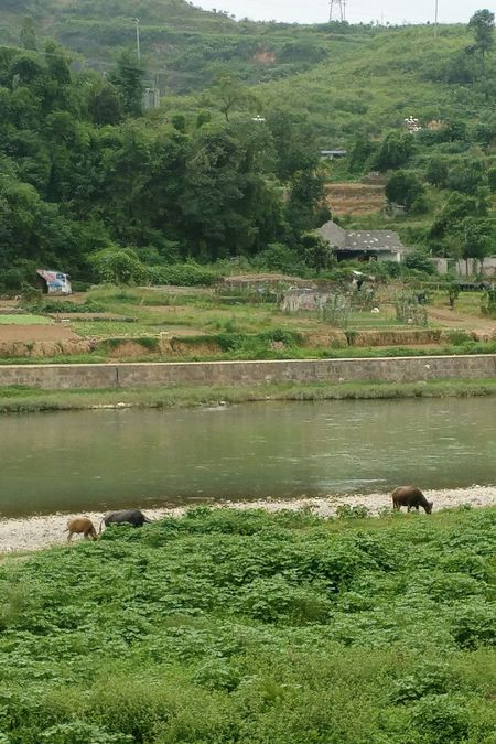 Nature Cows Cow Freerange Farming China Rural Rural China No People Outdoors Candid EyeEm Selects Scenic View Chinalandscape China Landscape Looking At Camera Guizhou Guizhou,china Guizhou Food