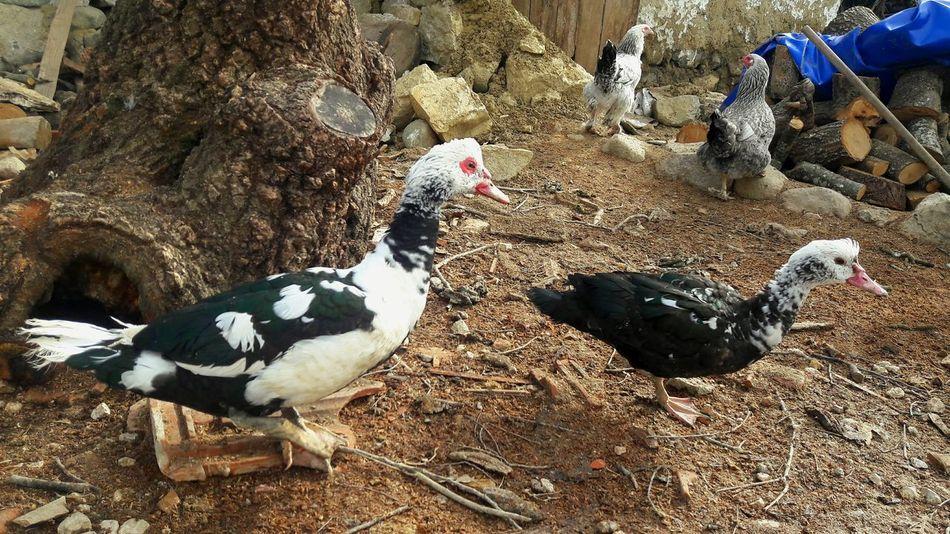 Animal Themes Day Outdoors No People Ducks Uçan Hayvanlar Uçan Ordekler ördek Ailesi Gaga Duck Photography Ducks😄