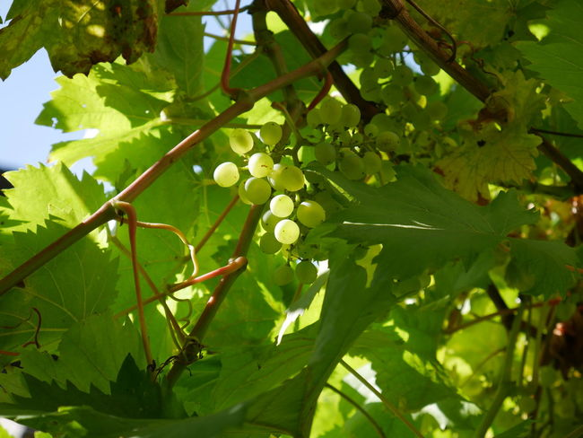 Beauty In Nature Day Fruit Green Leaf Leaves No People Outdoors Plant Life The Purist (no Edit, No Filter) Very Young Wine