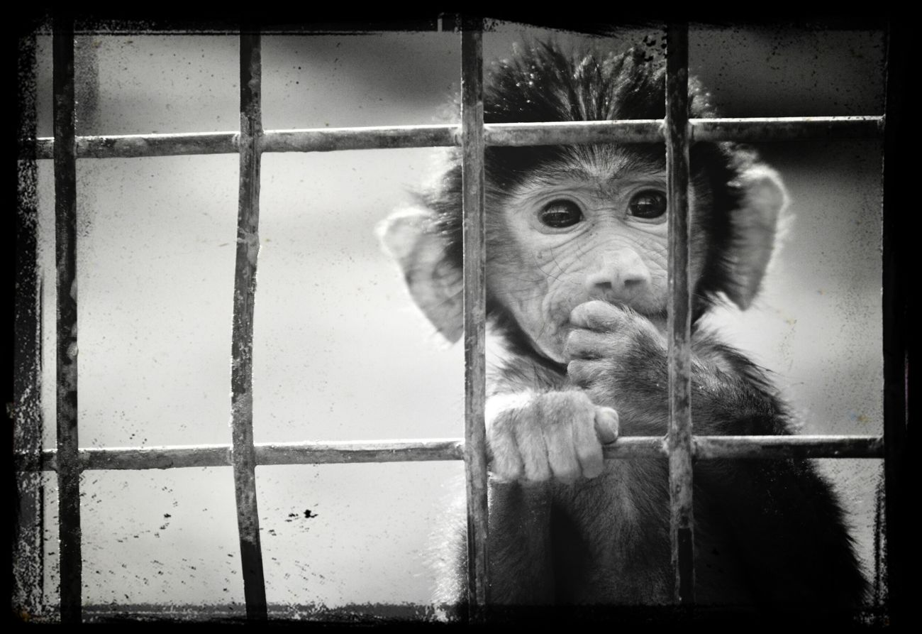 At riyadh zoo B&w monkey