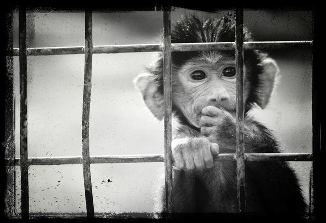 At riyadh zoo B&w monkey