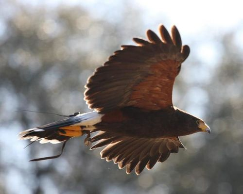 Harris hawk by English