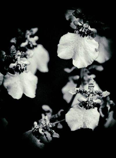 Dancimg lady orchid Black And White Photography Close-up Dancing Lady Flower Nature Orchid Outdoors Plant