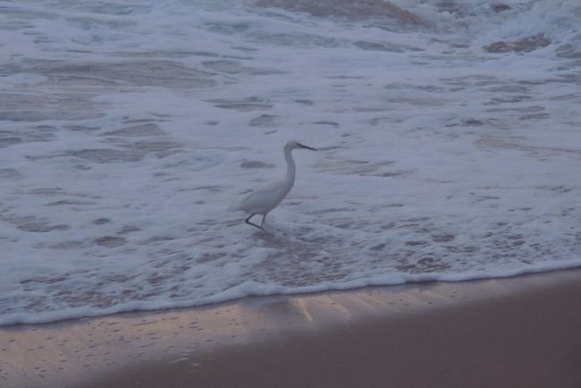 https://youtu.be/mGgMZpGYiy8 Happy Friday! White Waves White Bird One Animal Heron On The Beach Beach Photography Life Is A Beach Winter Sunset Sand Beach Sun Reflection On Sand Waves, Ocean, Nature White And Gold Bird Photography Bird On The Beach Great Egret No People Outdoors Beauty In Nature
