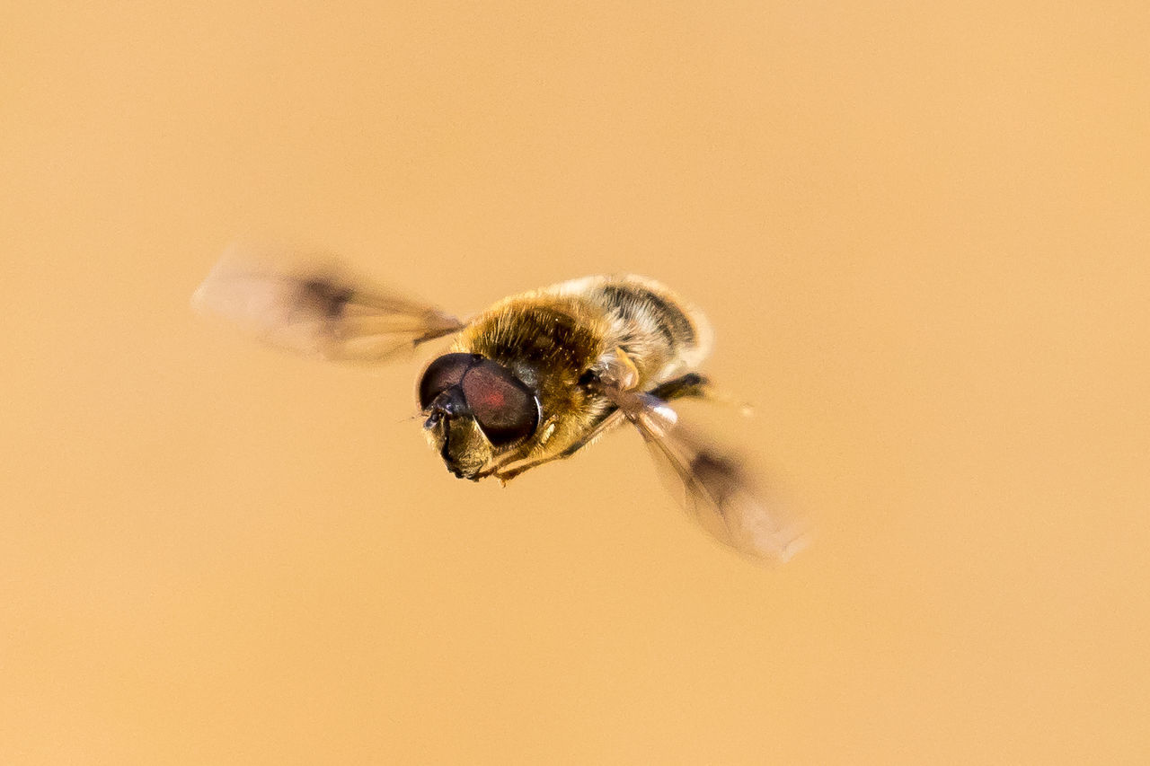 A hoverfly in flight Animal Themes Beauty In Nature Close-up Day Eristalis Flight Flying Focus On Foreground Hoverfly Hovering Insect Macro Nature No People Outdoors Selective Focus