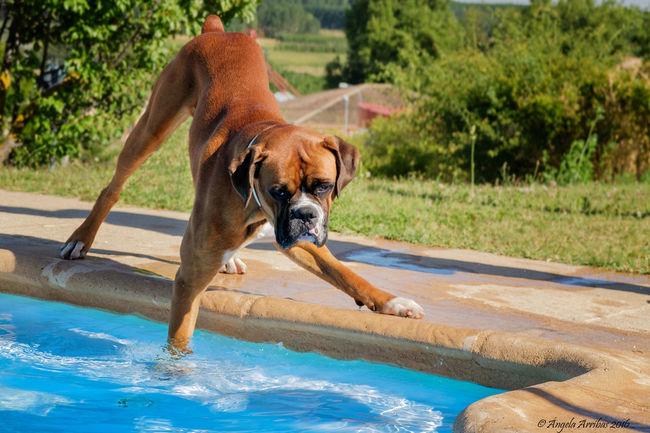 Boxer Dog Domestic Animals Nature Piscina Verano First Eyeem Photo