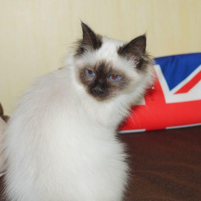 British style 😃 Birman  Sacredebirmanie Beautiful Cat Lovers Cat