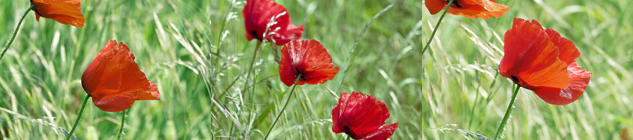 triptych with poppy flowers in the wind Beauty In Nature Blooming Close-up Day Flower Flower Head Fragility Freshness Growth Nature No People Outdoors Petal Plant Poppy Red Triptych