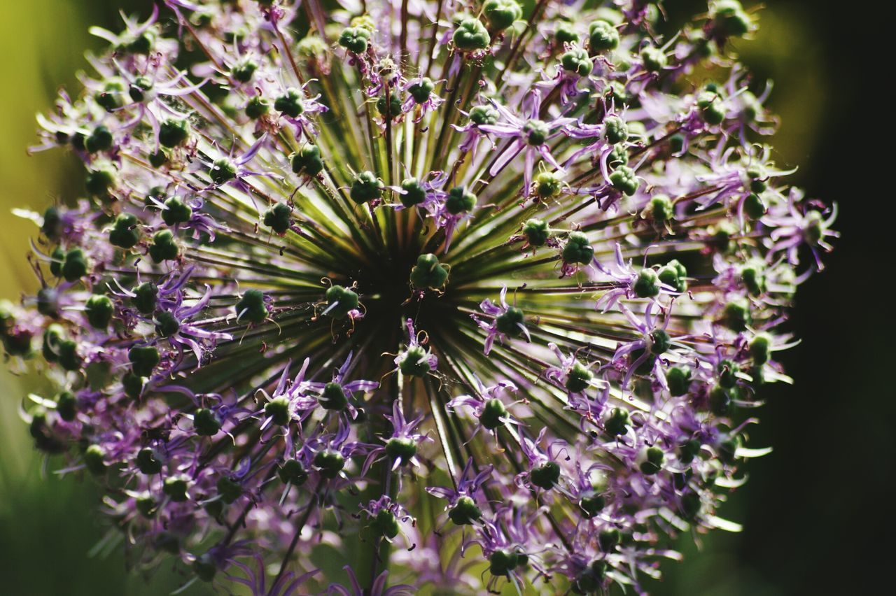flower, purple, growth, fragility, nature, beauty in nature, petal, plant, freshness, flower head, no people, blooming, day, outdoors, close-up