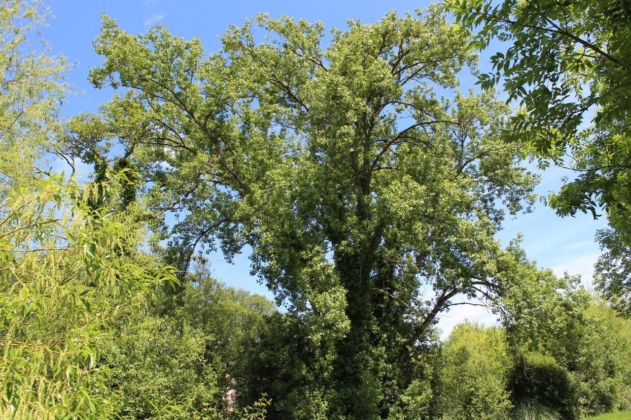 tree, growth, nature, forest, beauty in nature, green, low angle view, day, green color, no people, outdoors, tranquility, branch, sky, scenics, blue sky