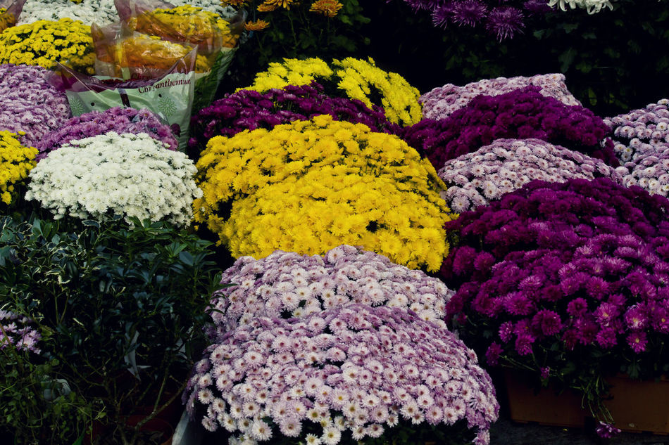 Chrysanthemum Close-up Colorful Day Flower Flowery Fragility Freshness Market Multi Colored No People Outdoors SPAIN Variation