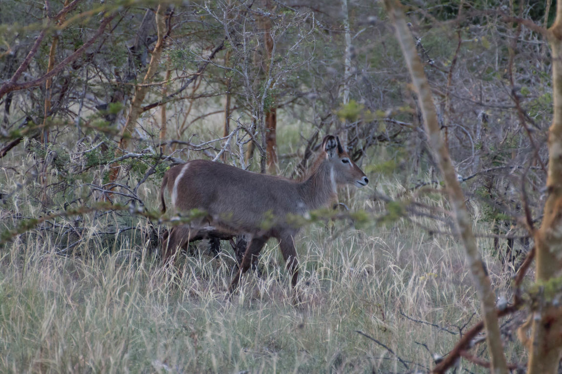 Beautiful waterbuck in Saadani National Park Animal Themes Animal Wildlife Animals In The Wild Beauty In Nature Branch Day EyeEm Nature Lover Field Grass Grassland Mamals Mammal Nature Nature Photography No People One Animal Outdoors Plant Toilet Seat Tropical Climate Waterbuck