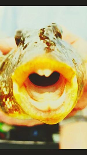 Gap-toothed puffer fish