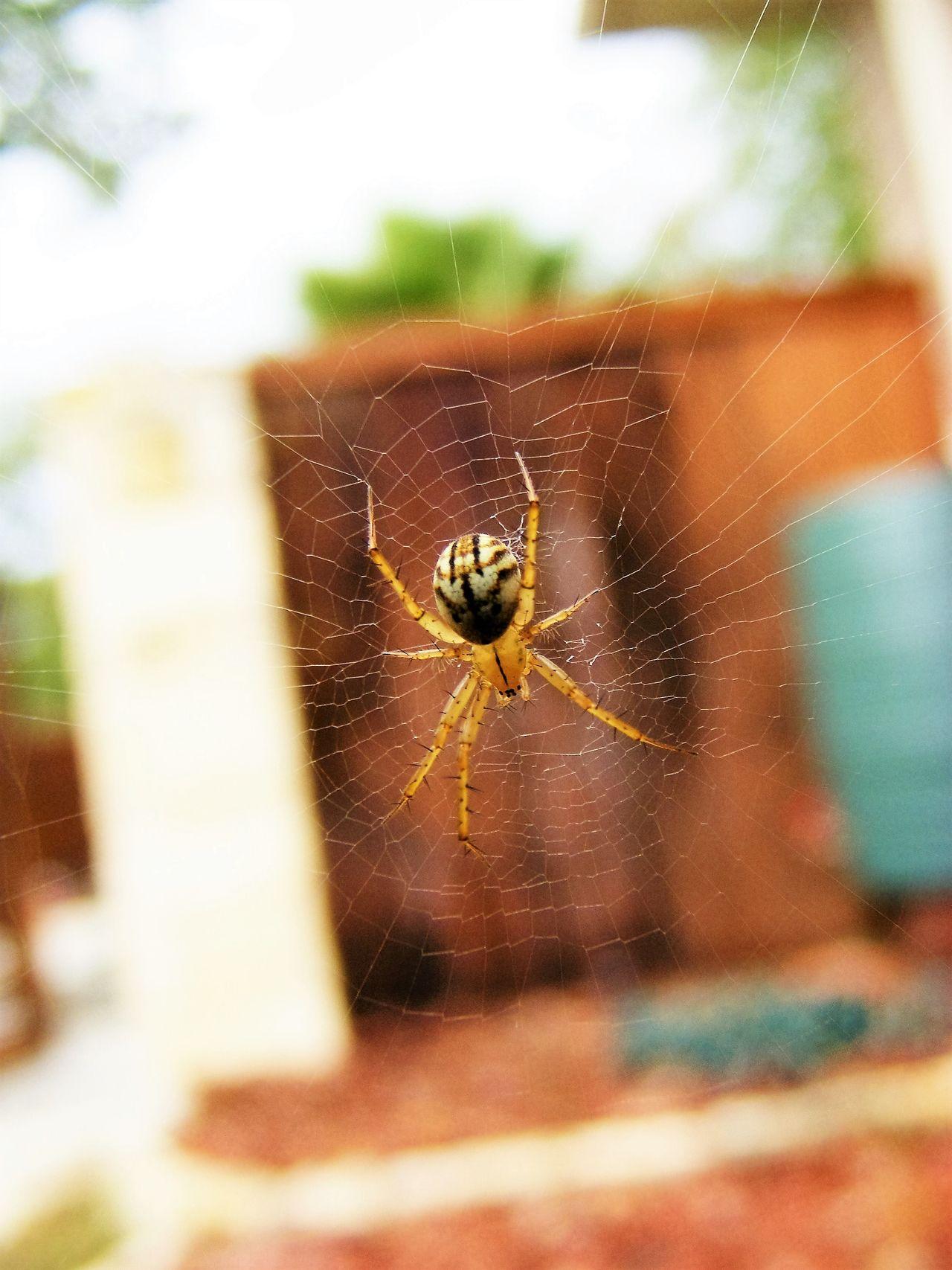 "Very Small Spider 1/2"" Arachnid Photography Arachnid_perfection Arachnophobia Beauty In Nature Focus On Foreground Spider Spider Nature_collection Eyenaturelover Spider Web Spiderweb Spiderworld"