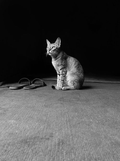Alertness Animal Animal Themes Black And White Black Background Brown Cat  Cat Cats Of EyeEm Close-up Domestic Animals Domestic Cat EyeEm Best Shots EyeEm Gallery Getty Images Greyscale Kitten Light And Dark Light And Shadow Pets Portrait Resting Staring Whisker