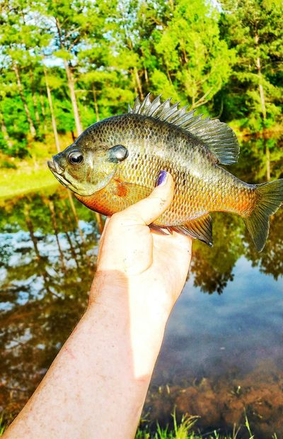 Fish Sunfish Fishing Outdoor Photography Water Reflections Tree Reflections Catch And Release Brem Holding Fish Its Me My Arm Gone Fishing