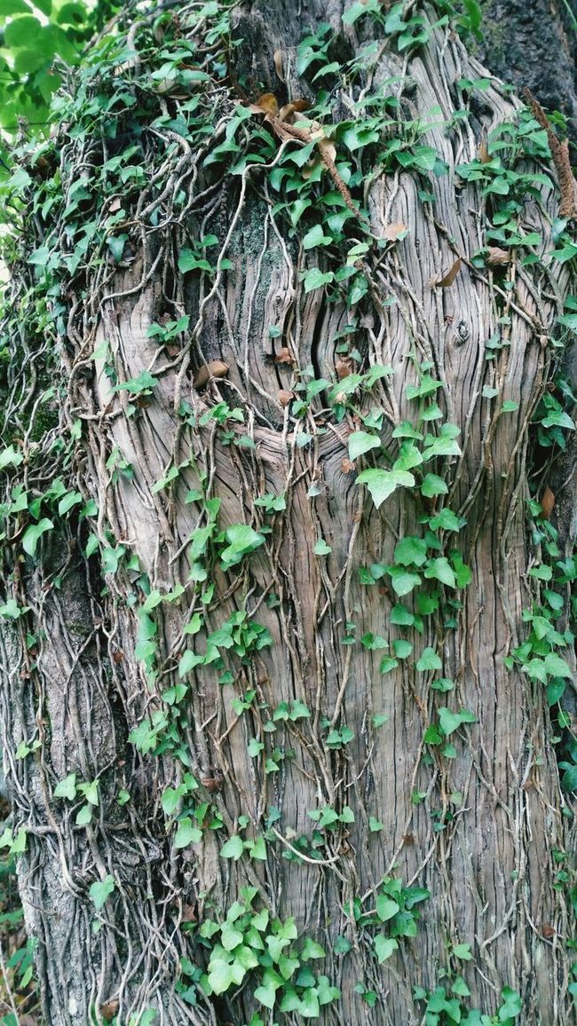 Creeper Plant Botany Green Beauty In Nature Backgrounds Tree Trunk Bosque Otoño Nature árbol Tronco Textures And Surfaces Climbing Plant Enredadera Forest