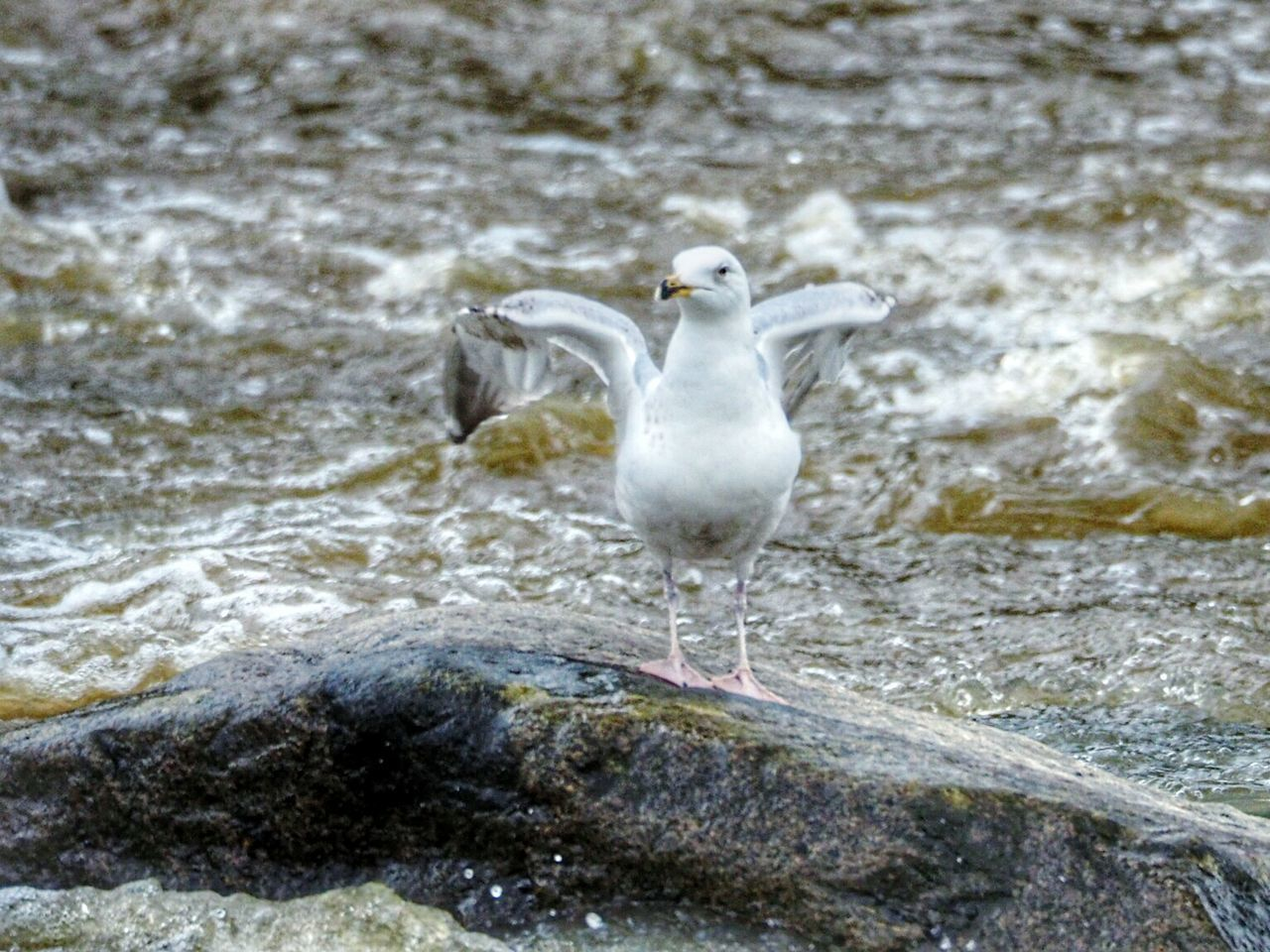 one animal, bird, animal themes, animals in the wild, water, animal wildlife, day, waterfront, nature, no people, outdoors, seagull, beauty in nature, close-up, spread wings