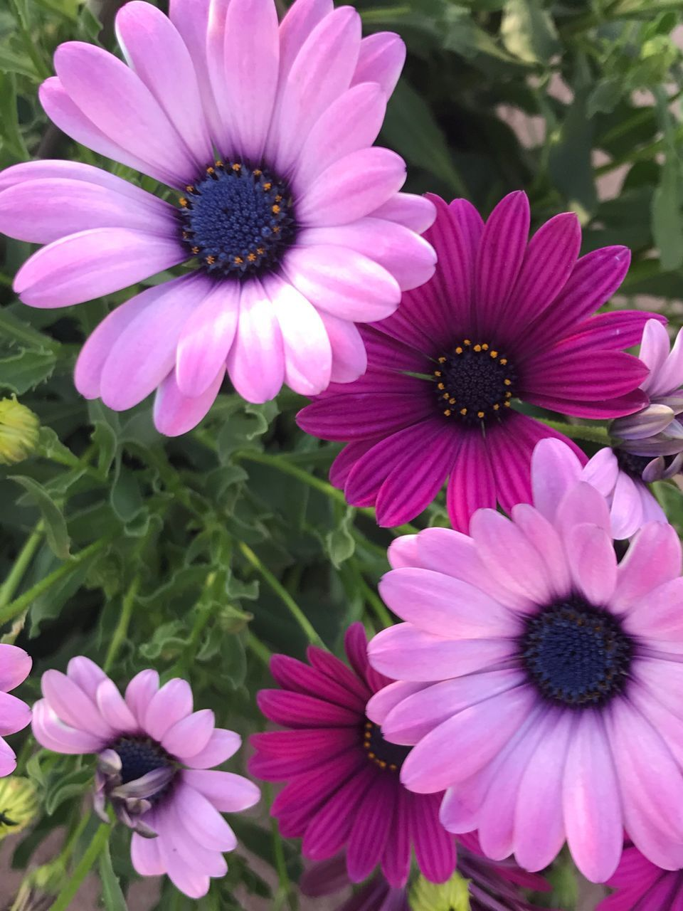 flower, petal, beauty in nature, growth, nature, flower head, fragility, freshness, blooming, plant, osteospermum, no people, pollen, day, outdoors, close-up, eastern purple coneflower