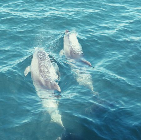 Dolphins Dolphin Watching  Swimming Sea Animals In The Wild Water Animal Themes Sea Life Nature No People Dolphin Outdoors Beauty In Nature Mammal Underwater Day UnderSea Seascape Sea View Travel Destinations EyeEm Best Shots EyeEm Gallery From My Point Of View UnderSea Aquatic Mammal