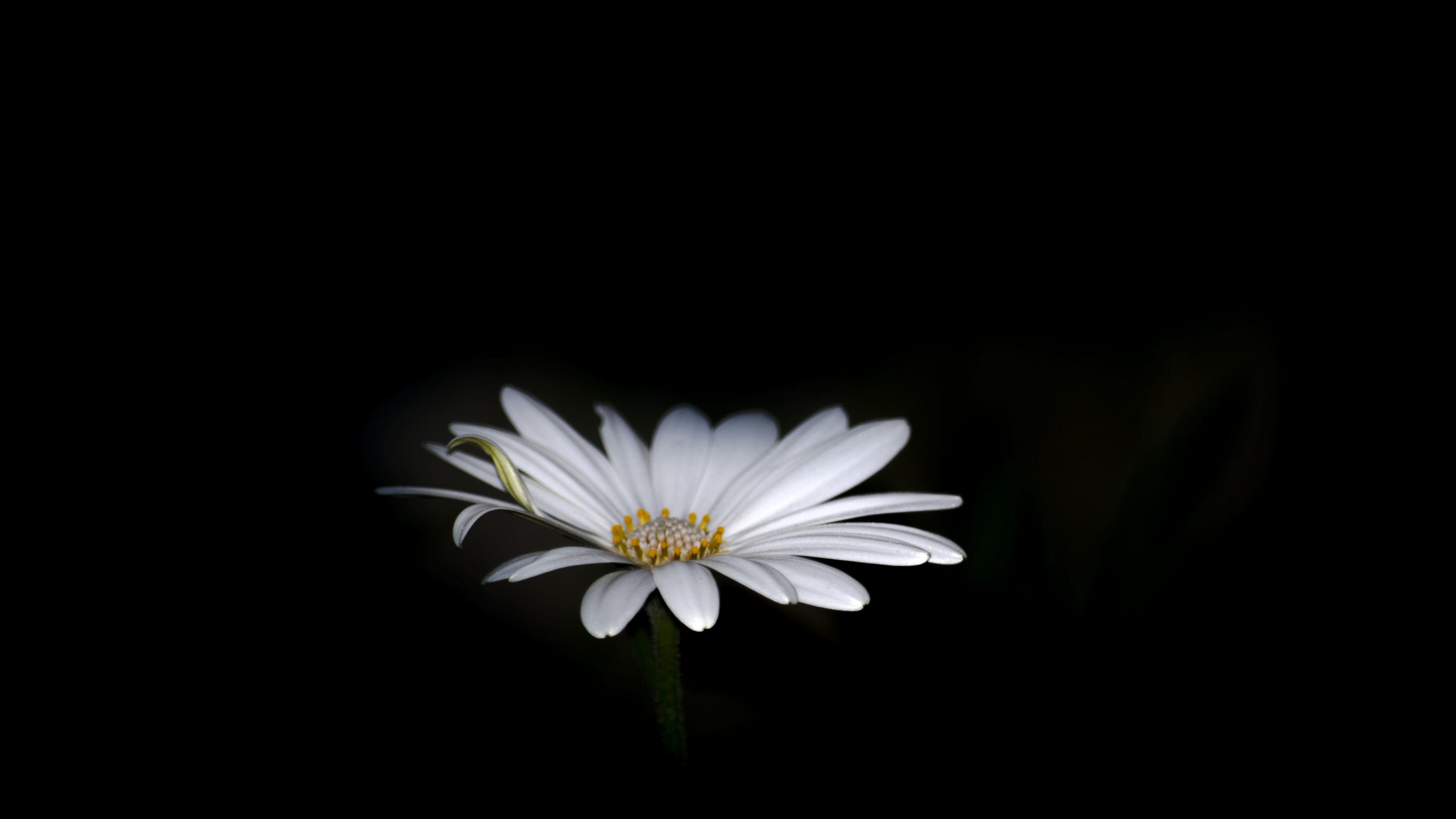 flower, petal, freshness, fragility, white color, flower head, beauty in nature, black background, growth, studio shot, copy space, close-up, nature, blooming, white, single flower, plant, stem, focus on foreground, pollen