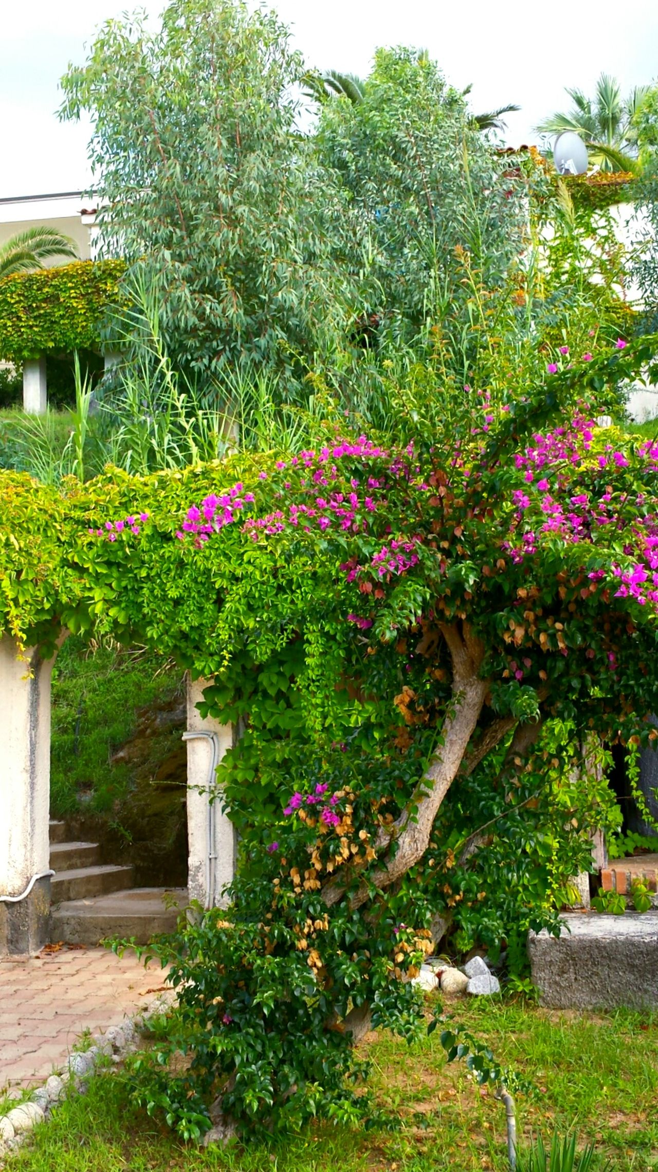 Ladyphotographerofthemonth Flowers,Plants & Garden Flower Collection Bougainville Green Green Green!  Entrance Gate Entrance Way Flowering Bushes Trees And Bushes Torbogen to hotel garden. Mediterranean Nature Beautiful Nature Beautiful Scenery Efeu Bewachsene Fassade Efeu An Mauer Eingangstor Flower Porn Flowers, Nature And Beauty Plants And Flowers Pink Flowers Wonderful View Tropical Paradise Tropical Flowers Greenery Stairs