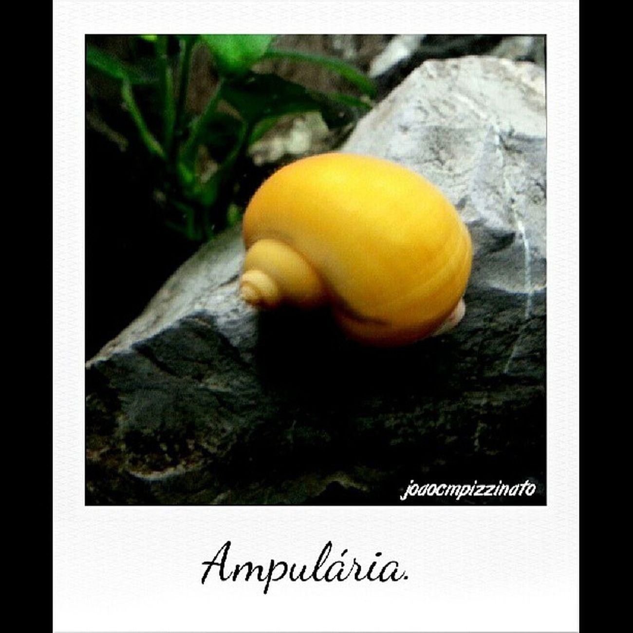Ampulária. Ampul ária Freshwater Aquarium Colors animal beautiful nature city saopaulo brasil photography