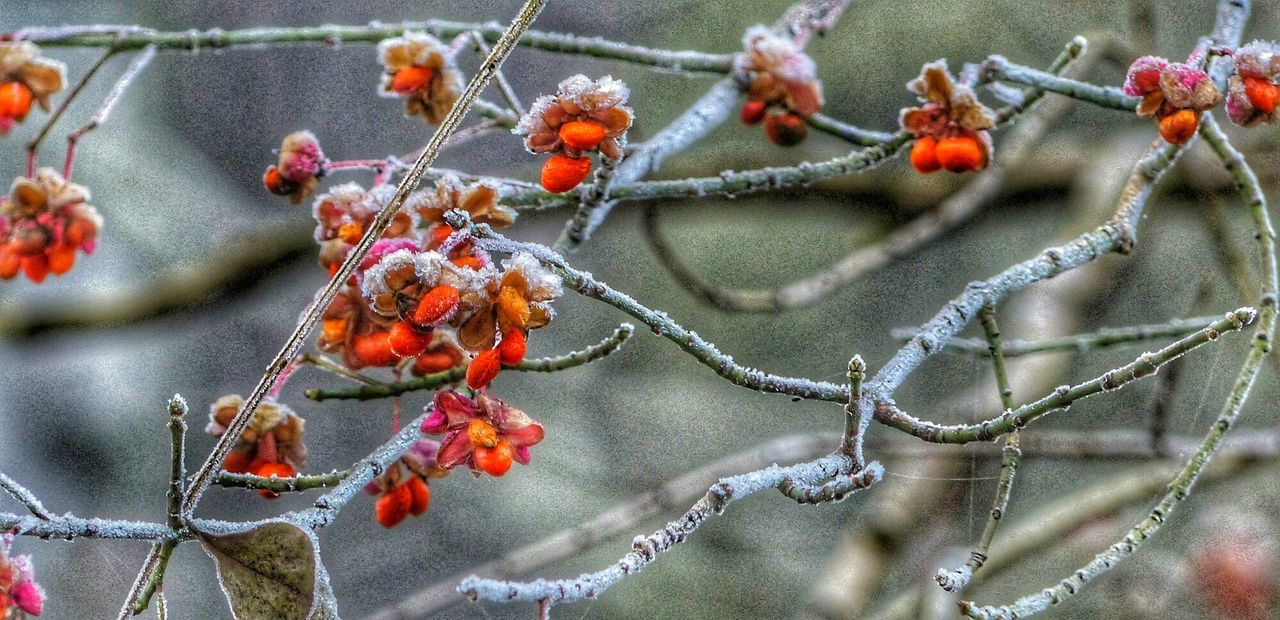 No People Fruit Close-up Nature Berry Fruit Outdoors Food And Drink Day Plant Rowanberry Freshness Tree Rose Hip Food Cactus
