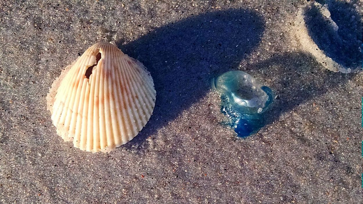these Portuguese Man Of War were everywhere at the beaches in Topsail Island, NC this was an itty bitty baby Squishy as seen next to the average sized Shell . Holiday POV