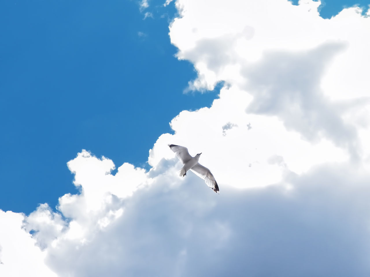 flying, animal themes, one animal, spread wings, bird, animals in the wild, sky, cloud - sky, mid-air, low angle view, animal wildlife, nature, day, seagull, outdoors, no people, beauty in nature