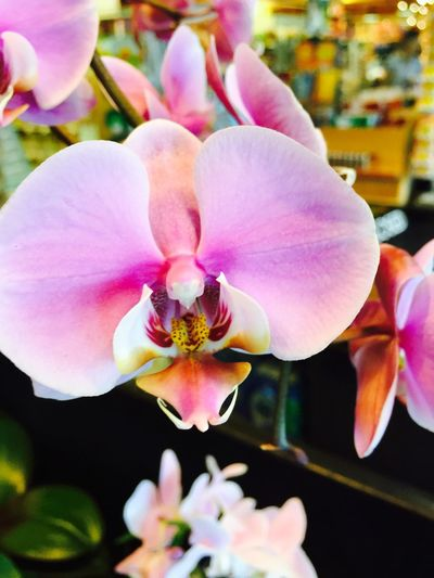 Grocery store orchids are hard to pass up! IPhoneography Iphone6plus Orchids Gay Hippie Oregon Gay Orchidporn
