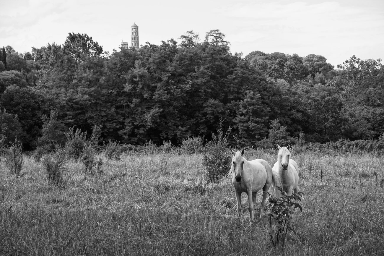 Home Is Where The Art Is Monochrome Black And White Animal Photography Horses Horse Photography  Uzés South Of France The Great Outdoors Running Free Nature_collection Bnw_friday_eyeemchallenge Bnw_captures Horse Life Summer Views The Difference Is Spreading