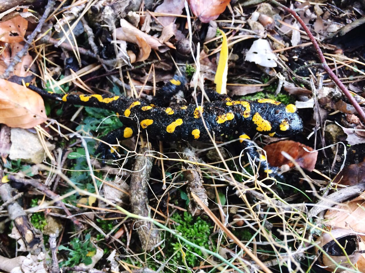 IPhoneography Salamander Salamandra