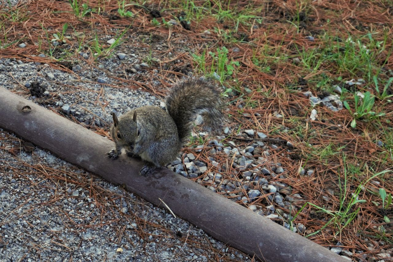 Animal Animal Photography Animal Themes Animal Wildlife Animals In The Wild Cute Cute Animals Day Detail Field Mammal Nature No People Nofilter One Animal Outdoors Park Path Squirrel Sunday Tail Trekking