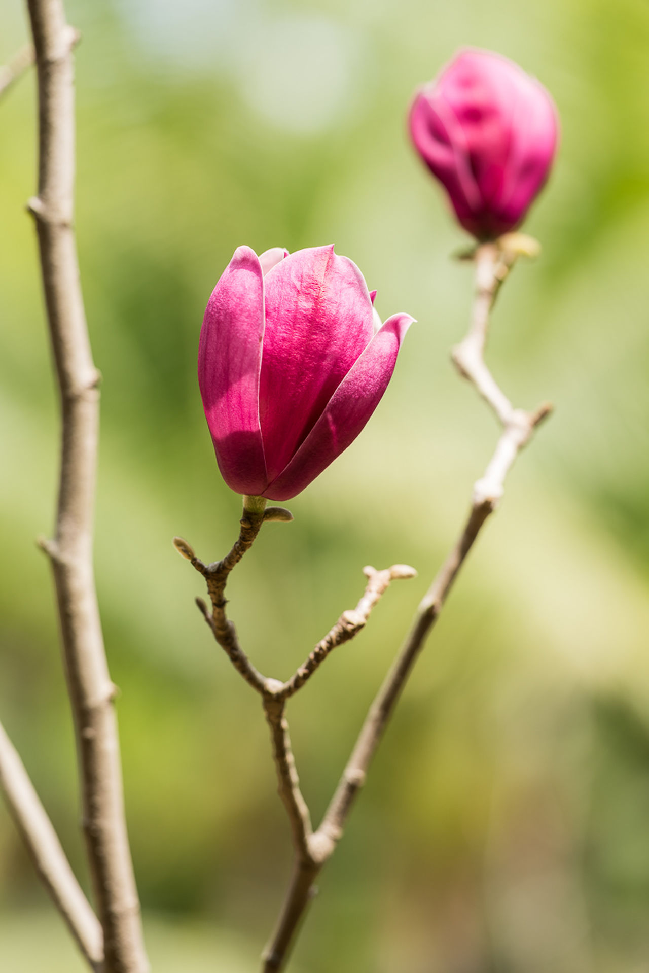 Magnolia Flowers Nature Pink