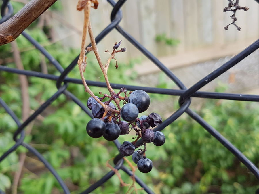 The Lady begins her sleep Focus On Foreground Fruit Close-up Nature Outdoors No People EyeEm Best Shots - Nature Purple Grapes In The Fall Fence Autumn 2016 Autumn Garden Macro Photography Beauty In Nature EyeEm Nature Lover Garden Photography Mobile Photography Eyeem Collection Eyeem Marketplace Eye4photography  EyeEm Gallery Popular EyeEm Best Shots - Autumn / Fall EyeEm Team The Week Of Eyeem