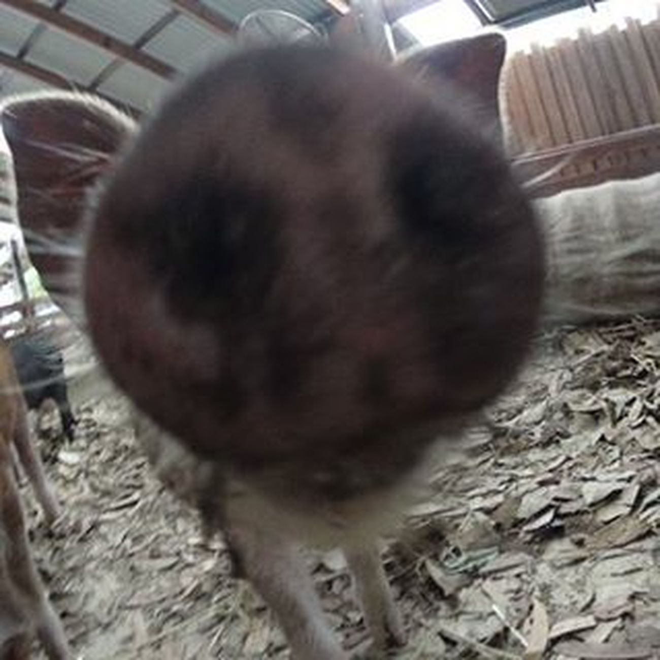"""Your camera smells good, can I taste it?"" Piglet at Australia Zoo Exploreoz Exploreaustralia Pig Piggy Oink Australiazoo Actioncam Closeup Nom Nomakeup Nose Takemeback Cute"
