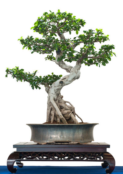 Bonsai ficus tree in a pot Green Tree Beauty In Nature Bonsai Bonsai Tree Close-up Day Ficus Growth Nature No People Pot Studio Shot Tree White Background White Isolated