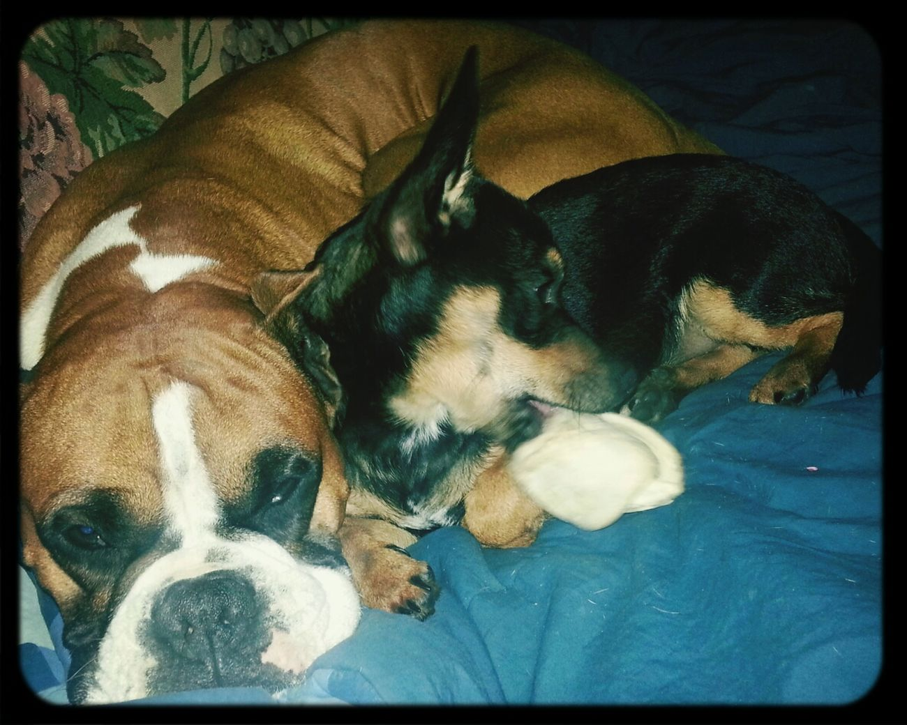 My dogs cx Love Animals Boxer Miniature Geemansheperd