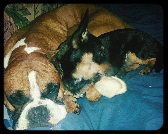 My dogs cx Love Animals Boxer Miniature Geemansheperd