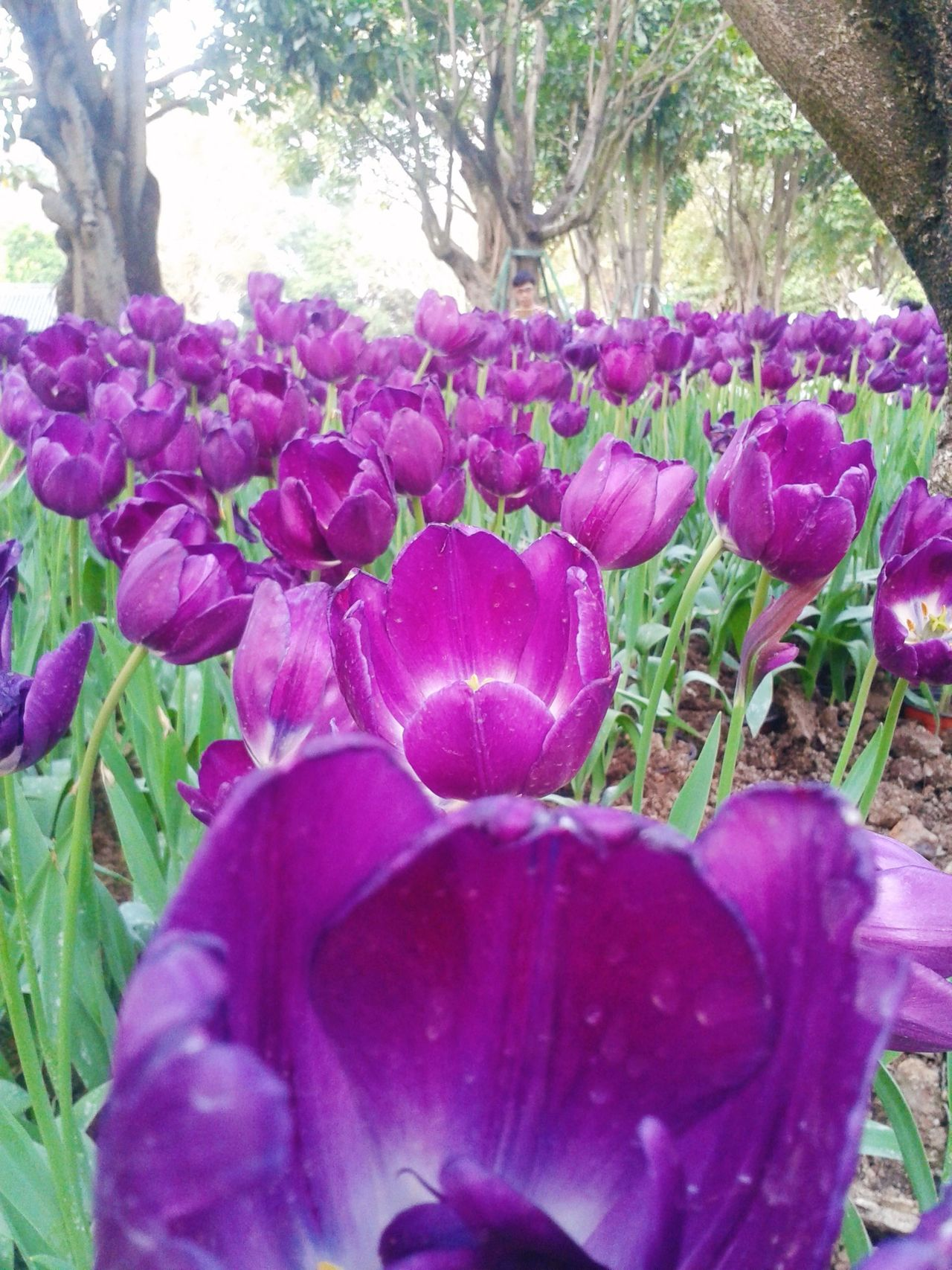 Flower Growth Nature Purple Plant Beauty In Nature Fragility Outdoors Flower Head No People Petal Tree Freshness Leaf Day Close-up Maroon Crocus